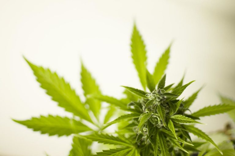 Uprawianie marihuany z pomocą hydroponiki